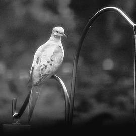 Karen  Majkrzak - Young Mourning Dove