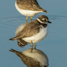 Bruce Frye - Young Plovers