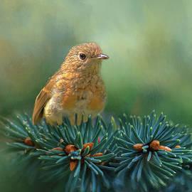 Robert Murray - Young Robin on Pine Tree