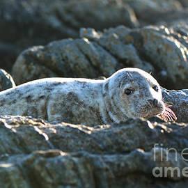 Moira Rowe - Young Seal on Rocks