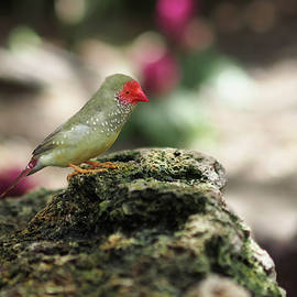 Young Star Finch
