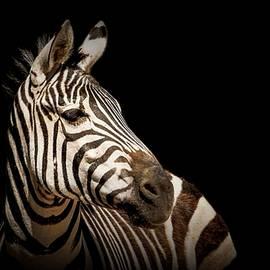 Christy Stanford - Zebra