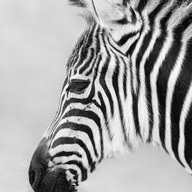 Marco Fischer - Zebra Face