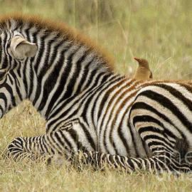 Sharon Ely - Zebra Foal
