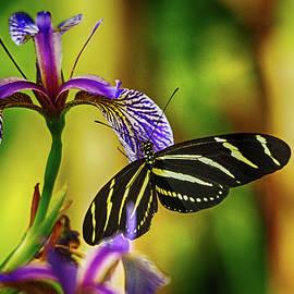 C H Apperson - Zebra Longwing on Iris