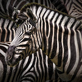 Randall Nyhof - Zebra lost among the Herd