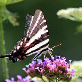 Karen Adams - Zebra Swallowtail Butterfly In July