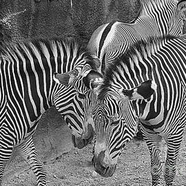 Constance S Jackson - Zebras in Black and White