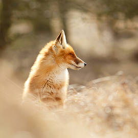 Roeselien Raimond - Zen Fox Series - Forest Fox