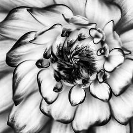 Mark Kiver - Zinnia Close Up in Black and White