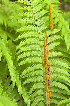 Cinnamon Fern by Science Stock Photography