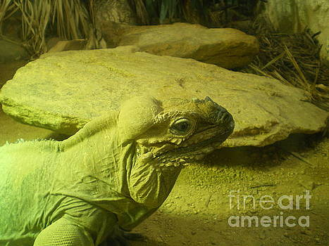 Green Iguana  by Ann Fellows