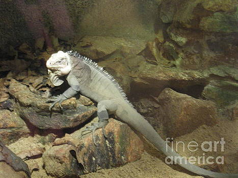 Grey Iguana  by Ann Fellows