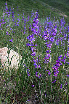 One-Sided Penstemon by Sharon I Williams