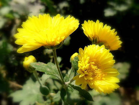 Sunflower by Salman Ravish