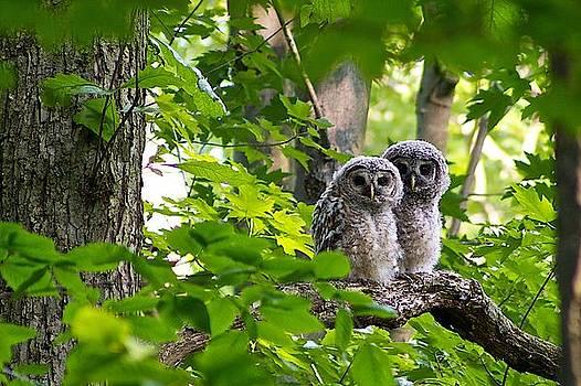 Barred Owl Fledgelings by Dan Ferrin