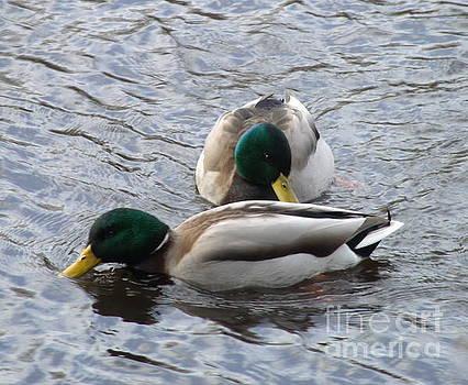 2 Mallard Ducks by Christy Beal