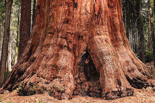 Sequoia by Muhie Kanawati