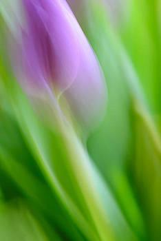 Tulip by Silke Magino
