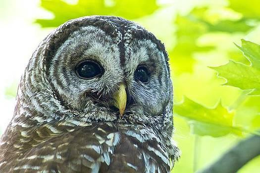 Barred Owl by Dan Ferrin