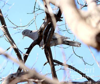 Euarsian Collard Dove by Lori Tordsen