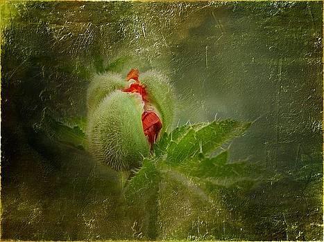 A beauty of Livermere Bud by Ilona Stefan