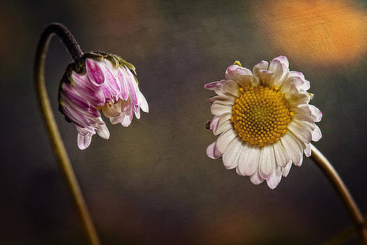 A Couple of Daisies by Saban Gursoy