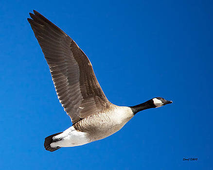 Amazing One Winged Flying Goose by Stephen  Johnson