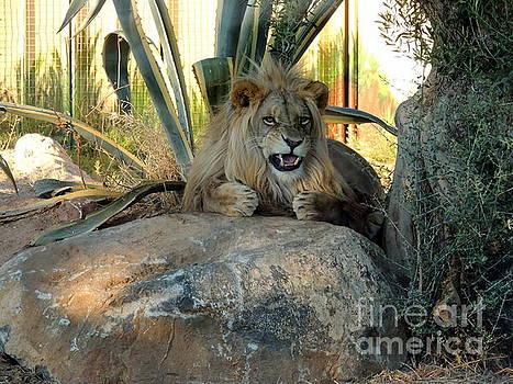 Angry lion by Paraskevas Momos