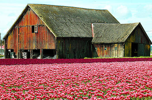 Barn and Tulips by Annie Pflueger