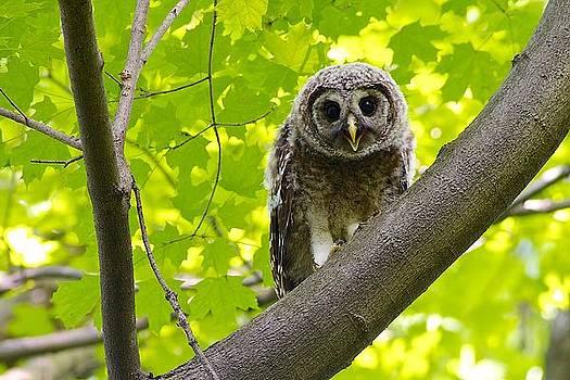 Barred Owl Fledgeling by Dan Ferrin