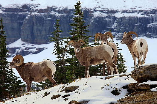 Bighorn sheep at Glacier National Park by Jetson Nguyen