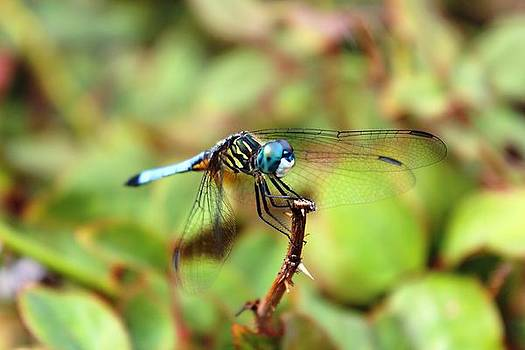 Blue Dragonfly by Vicki Kennedy