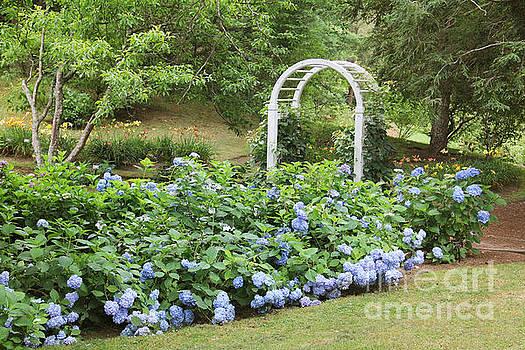 Blue Hydrangea by Rosemary Aubut