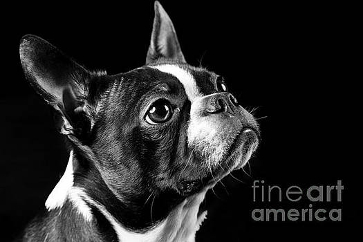 Boston Terrier by Darcy Evans