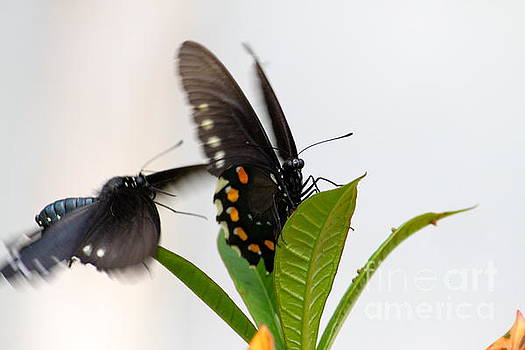 Butterflies playing by Jay Nodianos