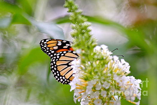 Butterfly Behind Bush by Jay Nodianos