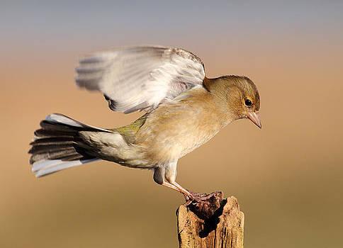 Chaffinch landing by Grant Glendinning