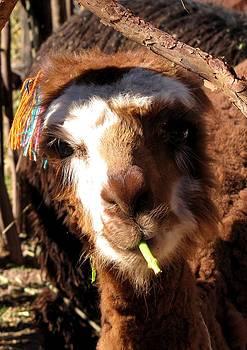 Chewing llama by Elizabeth Hardie