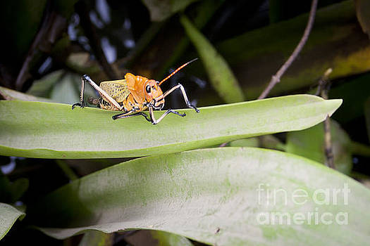 Costa Rican Grasshopper by Jaclyn Burns