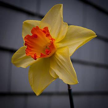 Daffodil Days Ahead by Jen Baptist