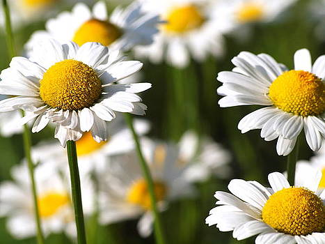 Dancing Daisies by Khristi Jacobs
