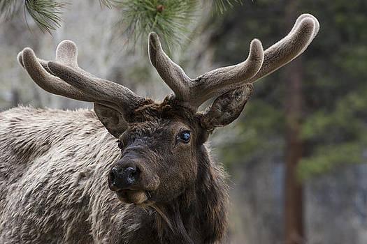 Deer by Sonny Marcyan