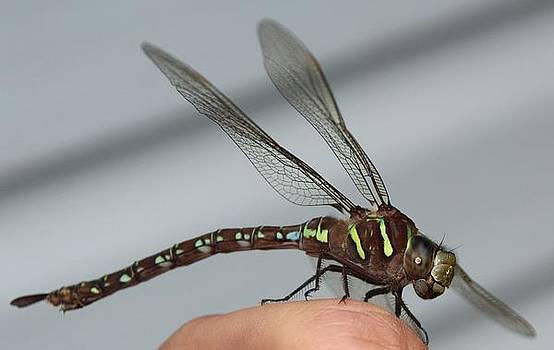 Dragonfly by Gary Pavlosky
