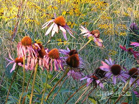 Echinacea by Bernice Grundy