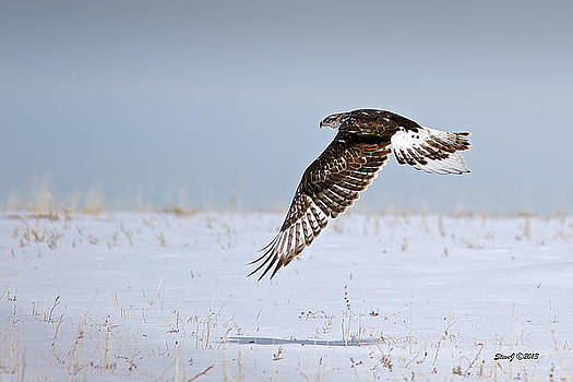 Ferruginous Hawk Flying over the Snow by Stephen  Johnson