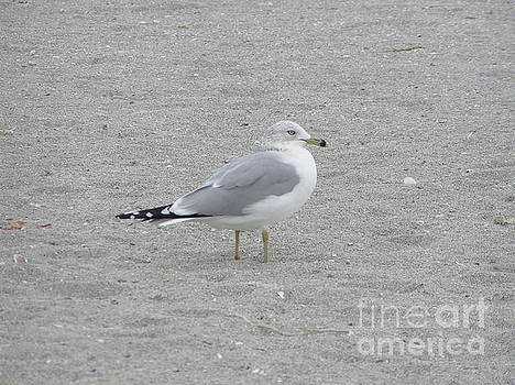 Florida Seagull by Tracy L Teeter