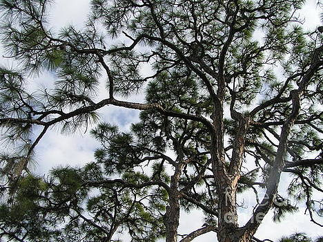 Florida Trees Sky by Tracy L Teeter