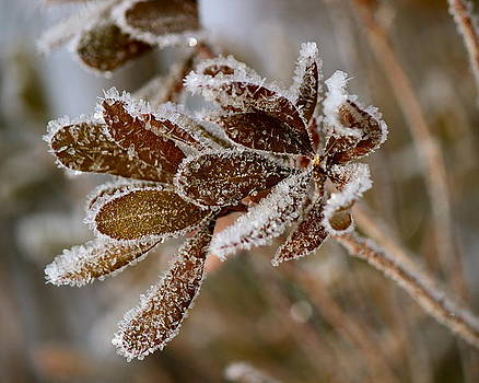 Frosted Bayberry by David Pickett