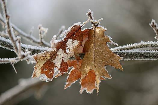 Frosted Oak by David Pickett